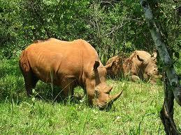 Badak Taman Nasional Ujung Kulon
