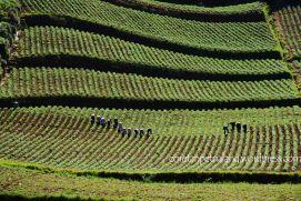 Lahan Pertanian di Dieng