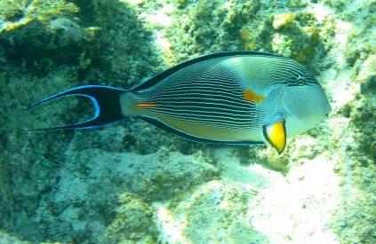 ArabianSurgeonfish