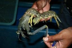 mantis_shrimp_claw