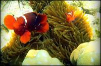 ikan nemo di pulau pahawang