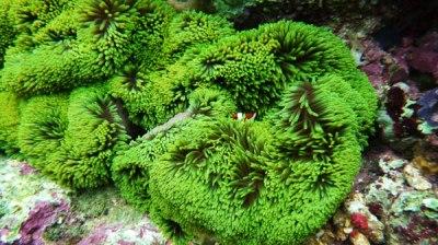 Terumbu karang cantik di Pahawang