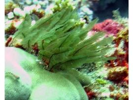 sea-fern