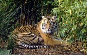 Harimau Sumatera TNKW