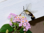 Kupu Hummingbird Hawk Moth