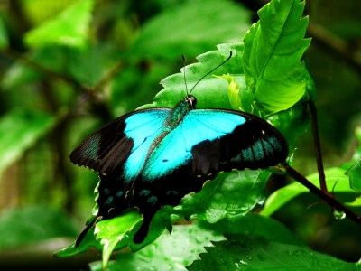Kupu Papilio Perantus
