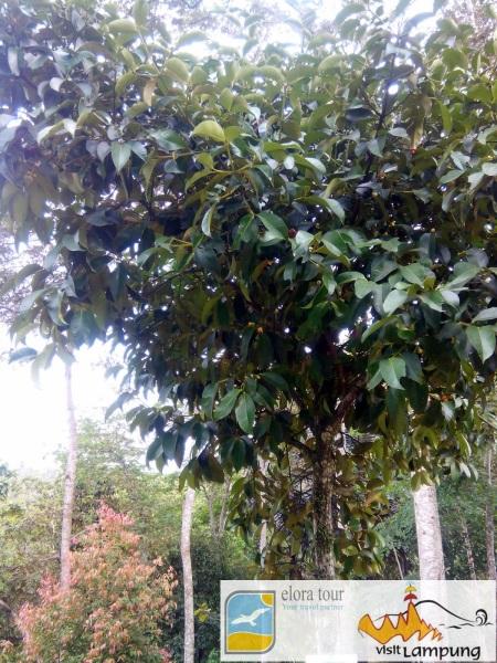 Pohon Manggis 1