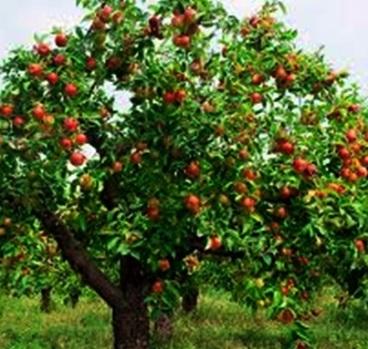 Pohon Manggis 4