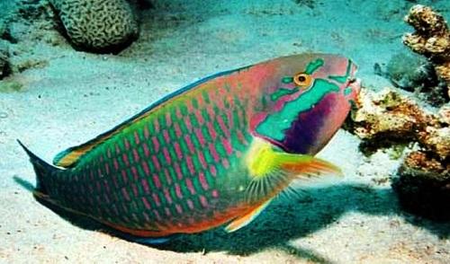 Ikan Kakaktua hidup di Karang