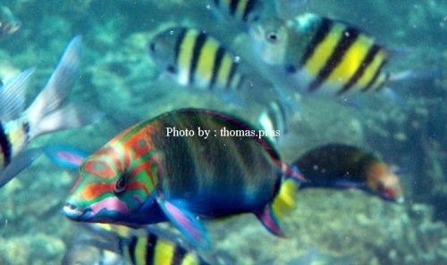 Ikan Kakaktua