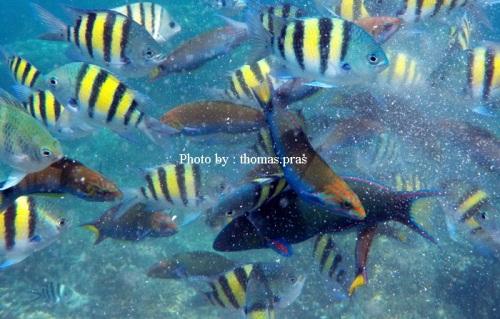 Ikan Kakatua