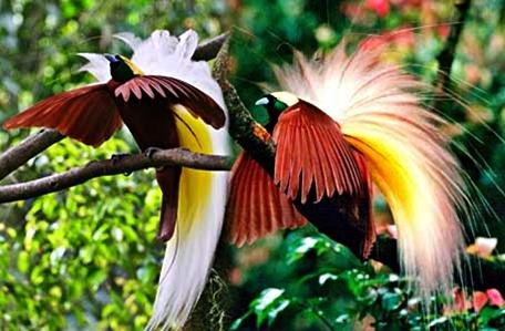 wisata-burung-cendrawasih-papua-eloratour